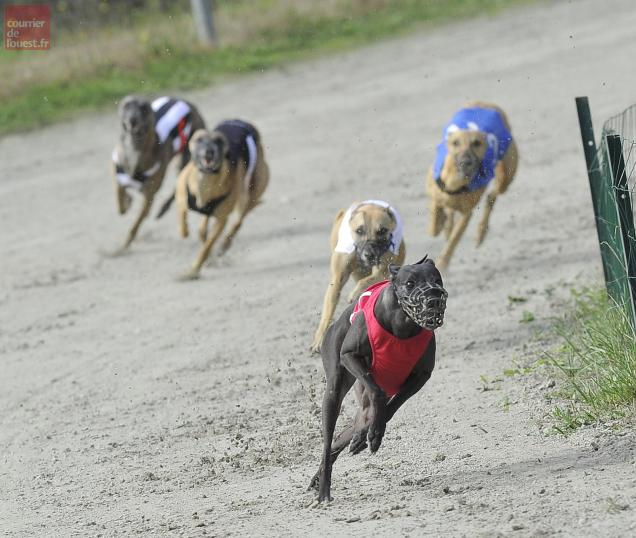 Ces greyhounds peuvent atteindre 70 km/h.