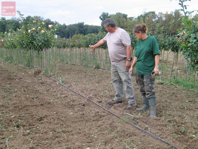 Philippe et Marie-Laure Oriot découvrent avec effarement que des rangs entiers de rosiers tiges ont disparu